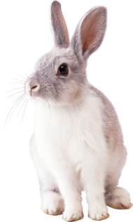 white rabbit PNG