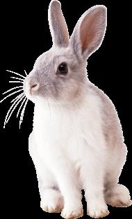 white rabbit PNG