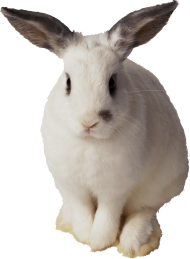 white rabbit sitting PNG