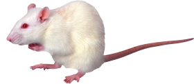 White Rat PNG