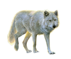 White Wolf PNG