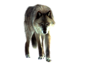 Wolf Looking On The Ground PNG
