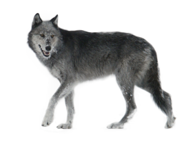 Wolf Walking Side Ways PNG