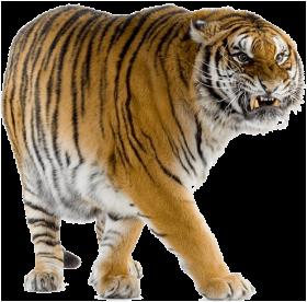 Yelllow Tiger Walking PNG