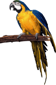 yellow blue pirate Parrot PNG