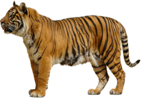Yellow Tiger PNG