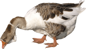 young Goose PNG