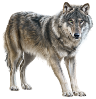 Young Wolf Standing PNG