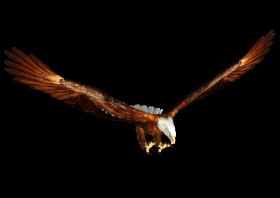 Animated bald eagle Hunting
