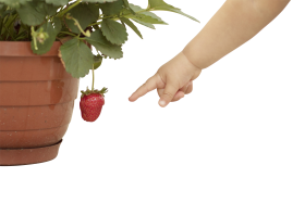 Baby hand Pointing at Strawberry