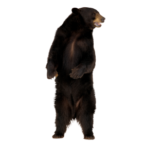 Bear Png Image Purepng Free Transparent Cc0 Png Image Library Bears are classified as caniforms, or doglike carnivorans. bear png image purepng free