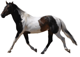 black white and brown horse