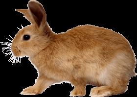 blonde rabbit walking from side