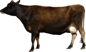 Brown cow from side