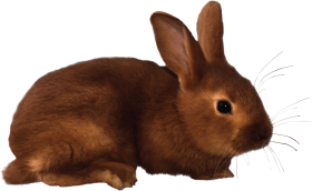 Brown rabbit