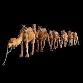 camel By kasirun Hasibuan