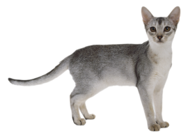 Cat Transparent PNG