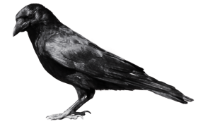 crow from side