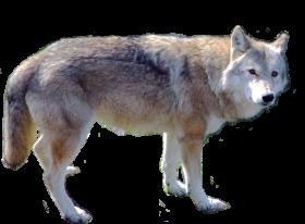 Cute Wolf Standing