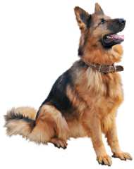 German shepherd dog sitting