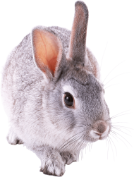 gray rabbit walking