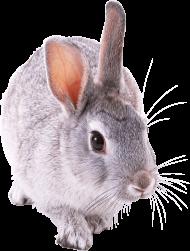 gray rabbit walking