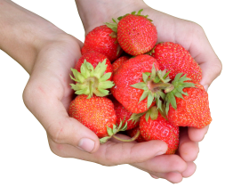 Hands holding a bunch of strawberries