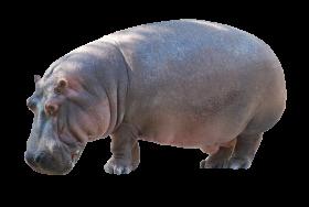 Hippo Standing