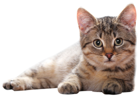 Lying Cat PNG