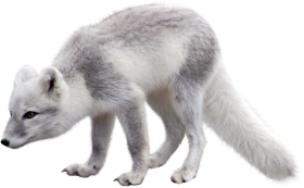 Arctic Snow Fox
