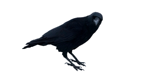 Black Crow Standing