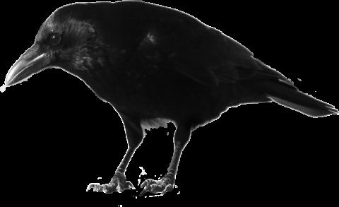 Black Crow Standing
