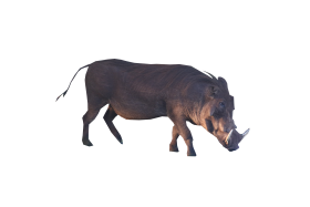 Brown Boar Standing