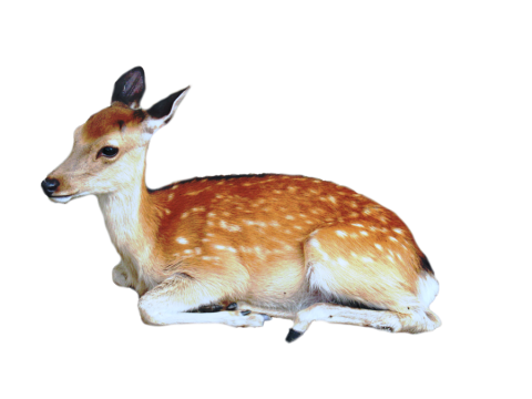 Brown Deer With White Spots Lying / Sittting