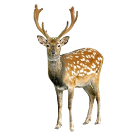 Brown Deer With White Spots Standing