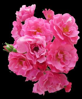 Bunch Pink Rose Flower