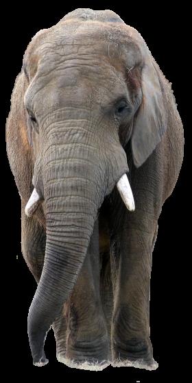 Gray Elephant Standing