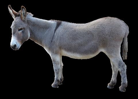 Grey Donkey Standing