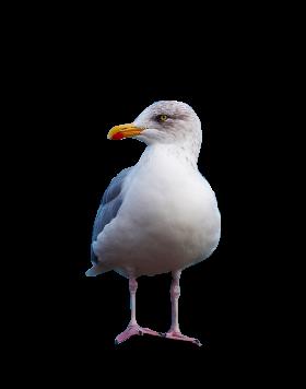 Gull Standing