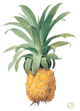 Pinapple Drawing
