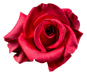 Red Rose Flower Top View