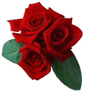 https://purepng.com/public/uploads/thumbnail/purepng.com-red-roserosewoody-flowering-plantgenus-rosared-rose-1701527747922vlqix.png