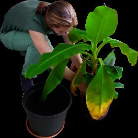 Replanting His Banana Trees