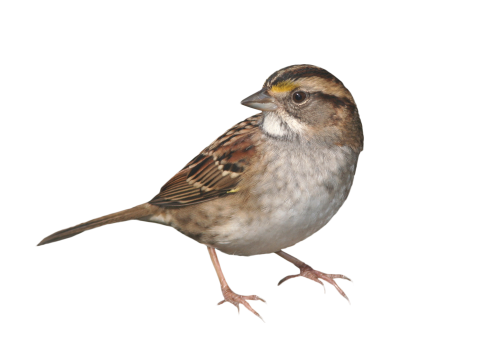 Sparrow Standing