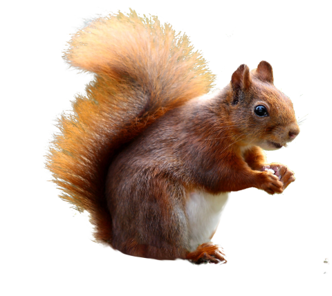 Squirrel Cute