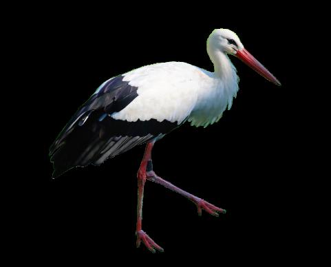 Stork Standing
