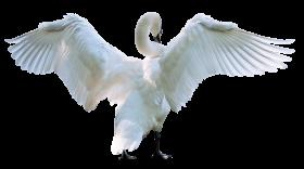 Swan Starting Fly