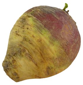 Turnip Rutabaga root