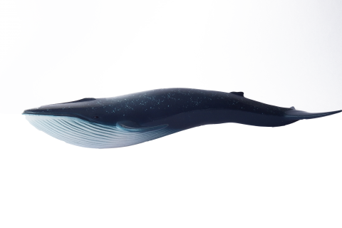 Whale Blue Swimming
