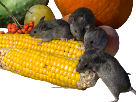 Rats eating Corn